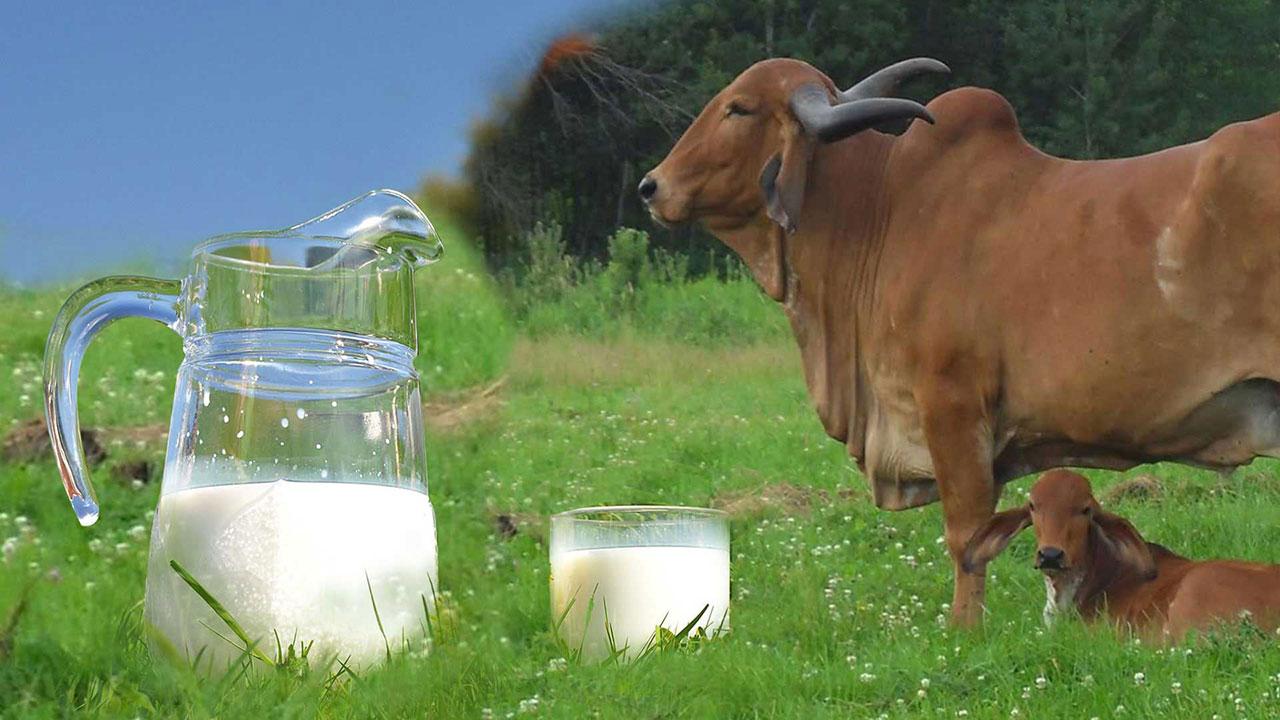 Fresh pure A2 cow milk Chennai | Organic Desi Milk in Chennai